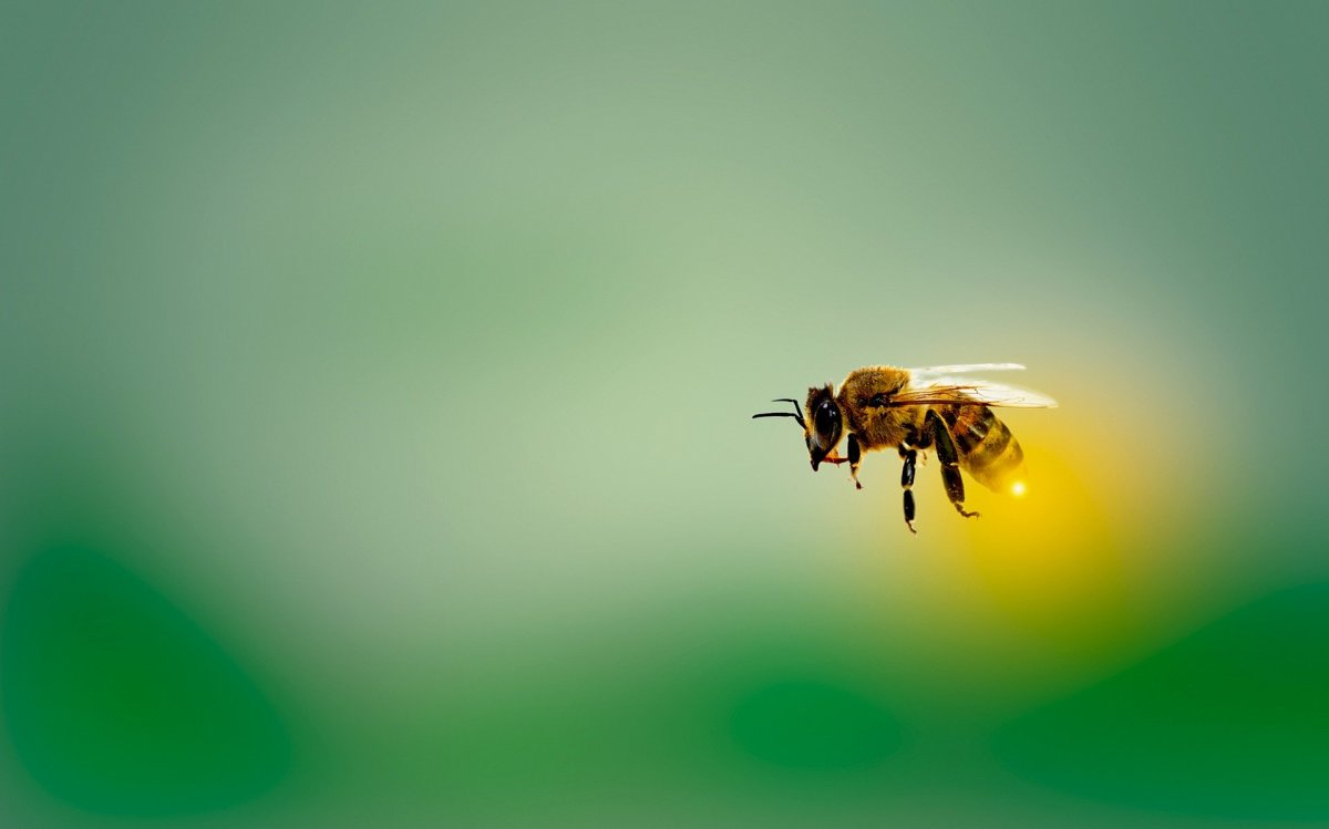 The State Insect of Nebraska: the European Honey Bee