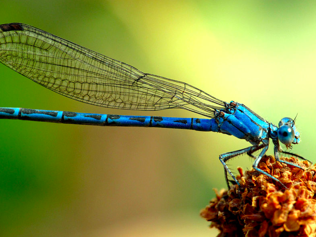 The State Insect of Nevada: the Vivid Dancer Damselfly