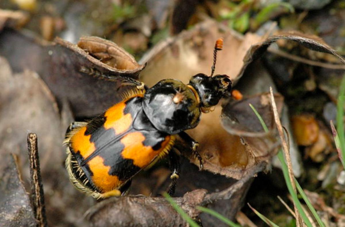 A typical burying beetle in the genus Nicophorus
