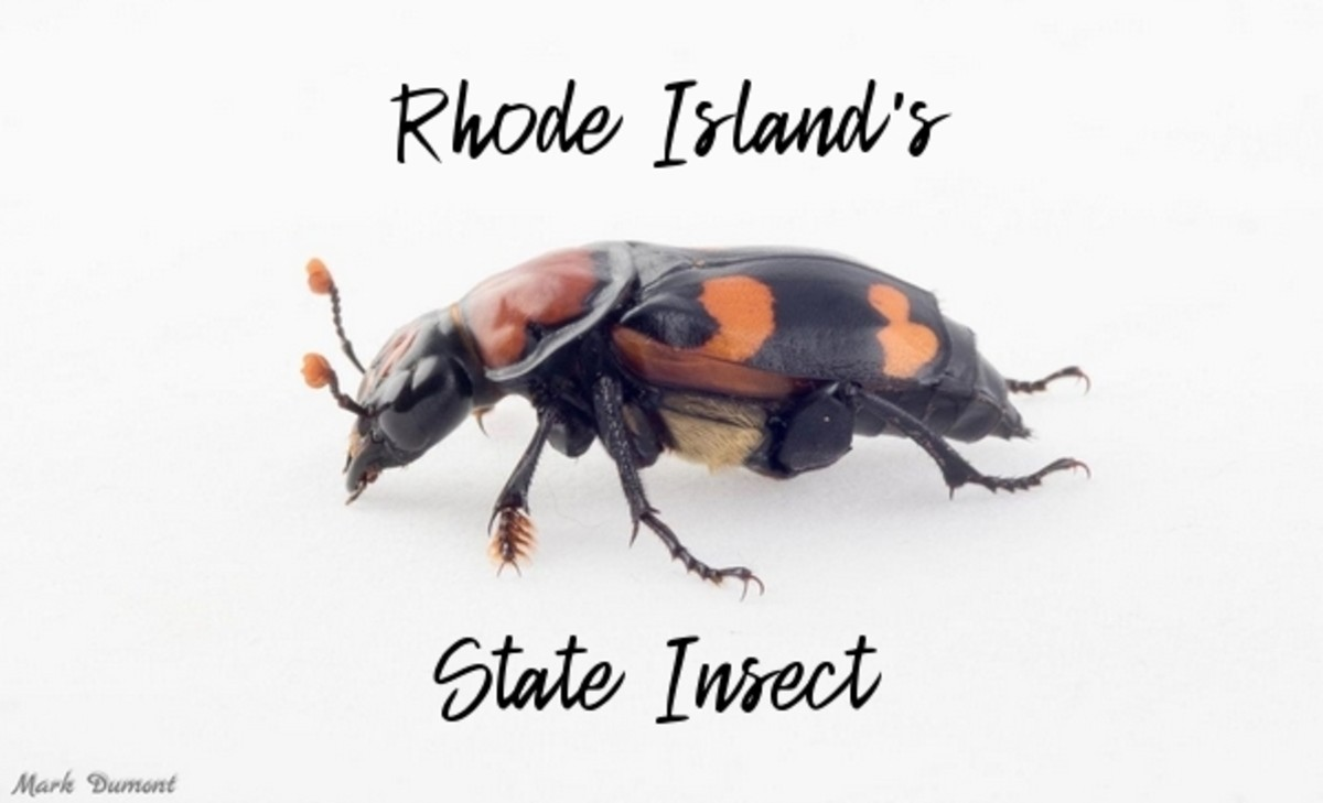 state-insect-of-rhode-island