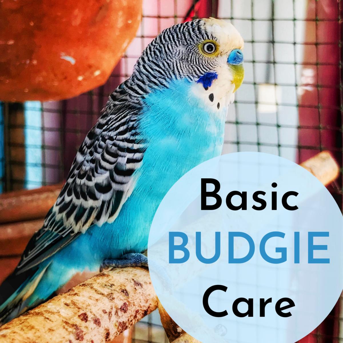 Learn the basics of caring for your new pet parakeet, from equipment to housing to cleaning.