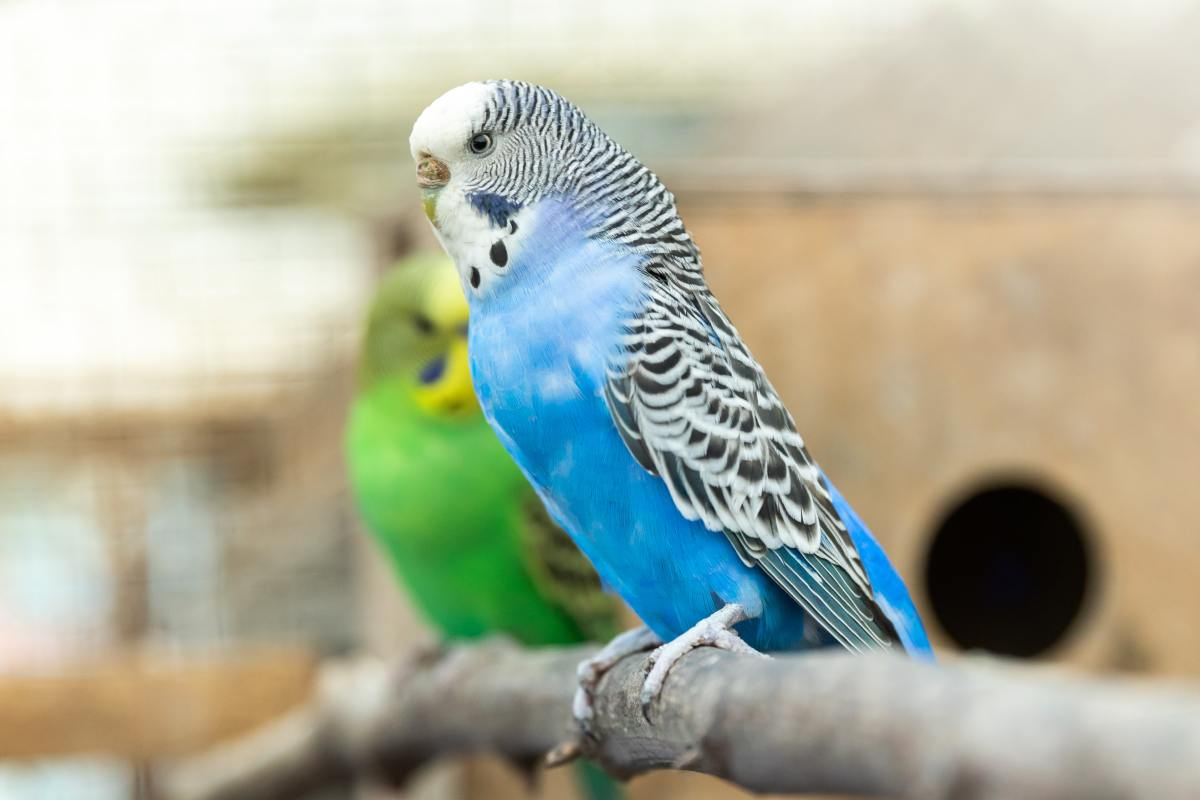 Budgies are diurnal, just like humans, and they may chirp a lot in the morning!