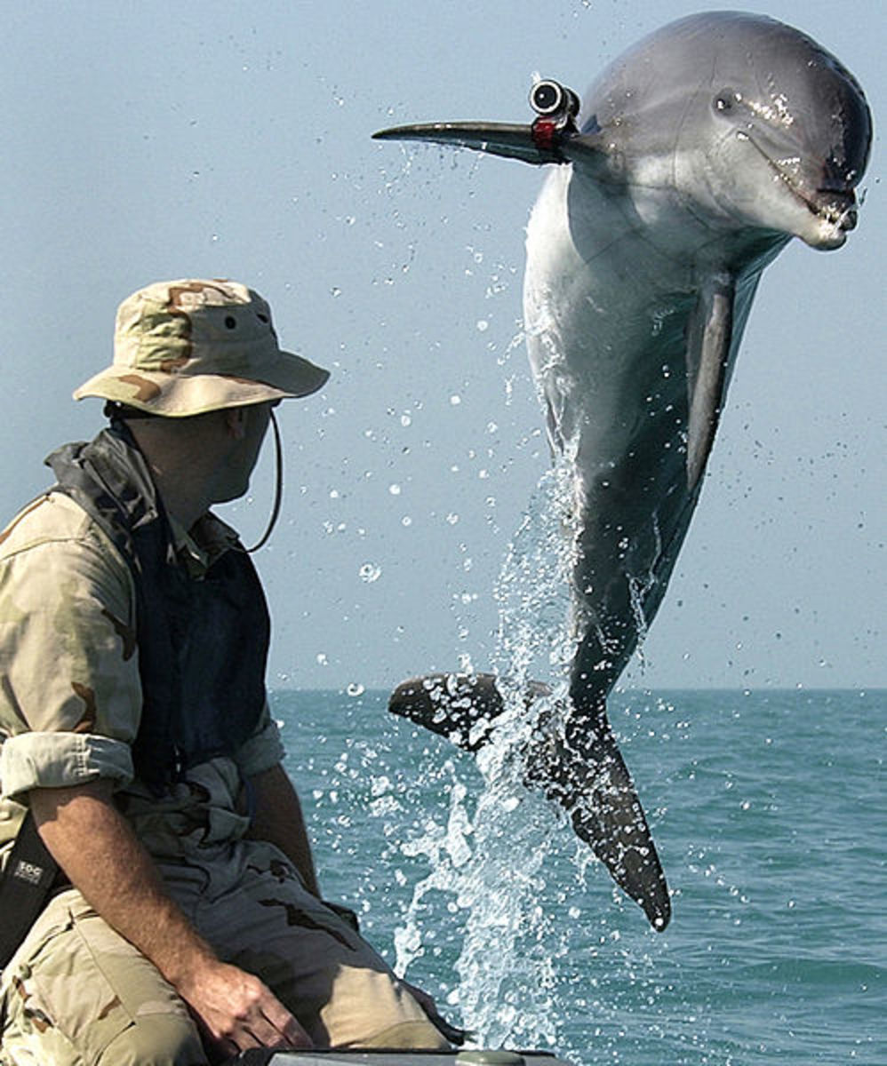 Dolphin helping the U.S. military.