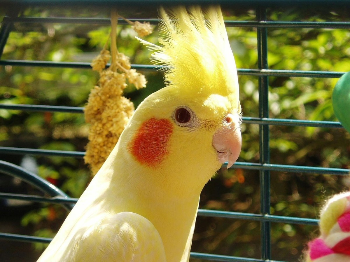 With its calm attitude and its crest standing straight up, this cockatiel appears contented.