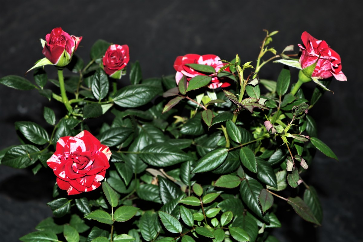 Red and White Miniature Rose Bush