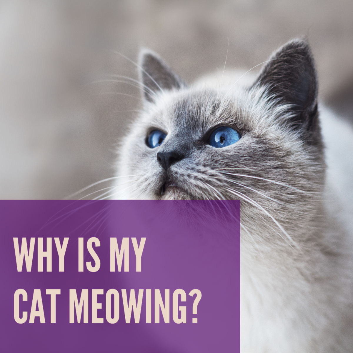 There are various reasons a cat might be meowing more frequently.