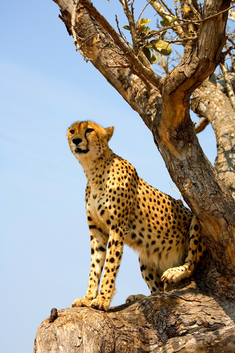Cheetah Facts for Kids: Cheetah Photos & Interesting Facts About Cheetahs