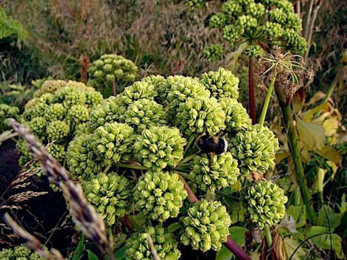 Benefits of Angelica Herb to Improve Digestion