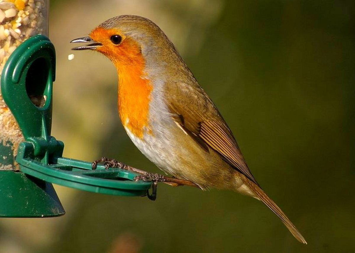 How to correctly feed wild birds during the British winter