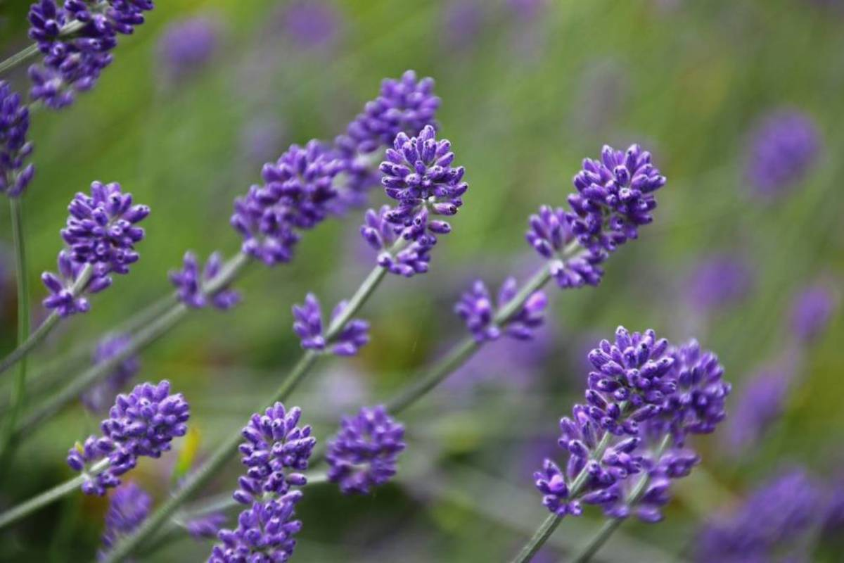Lavender is well-known as a soothing,calming herb.