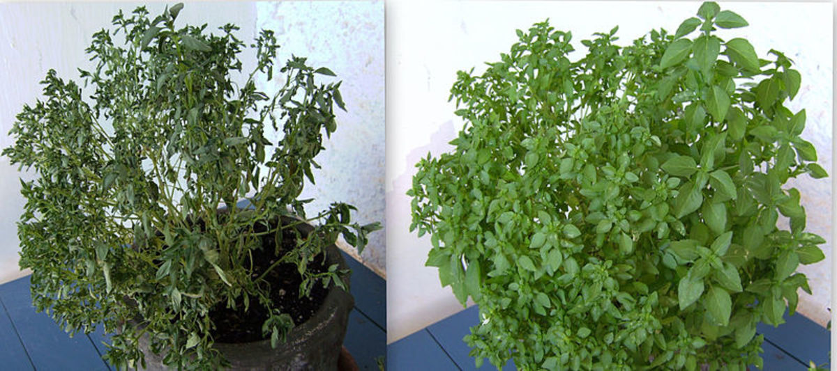 A wilted basil (Ocimum basilicum) plant and one day after irrigation