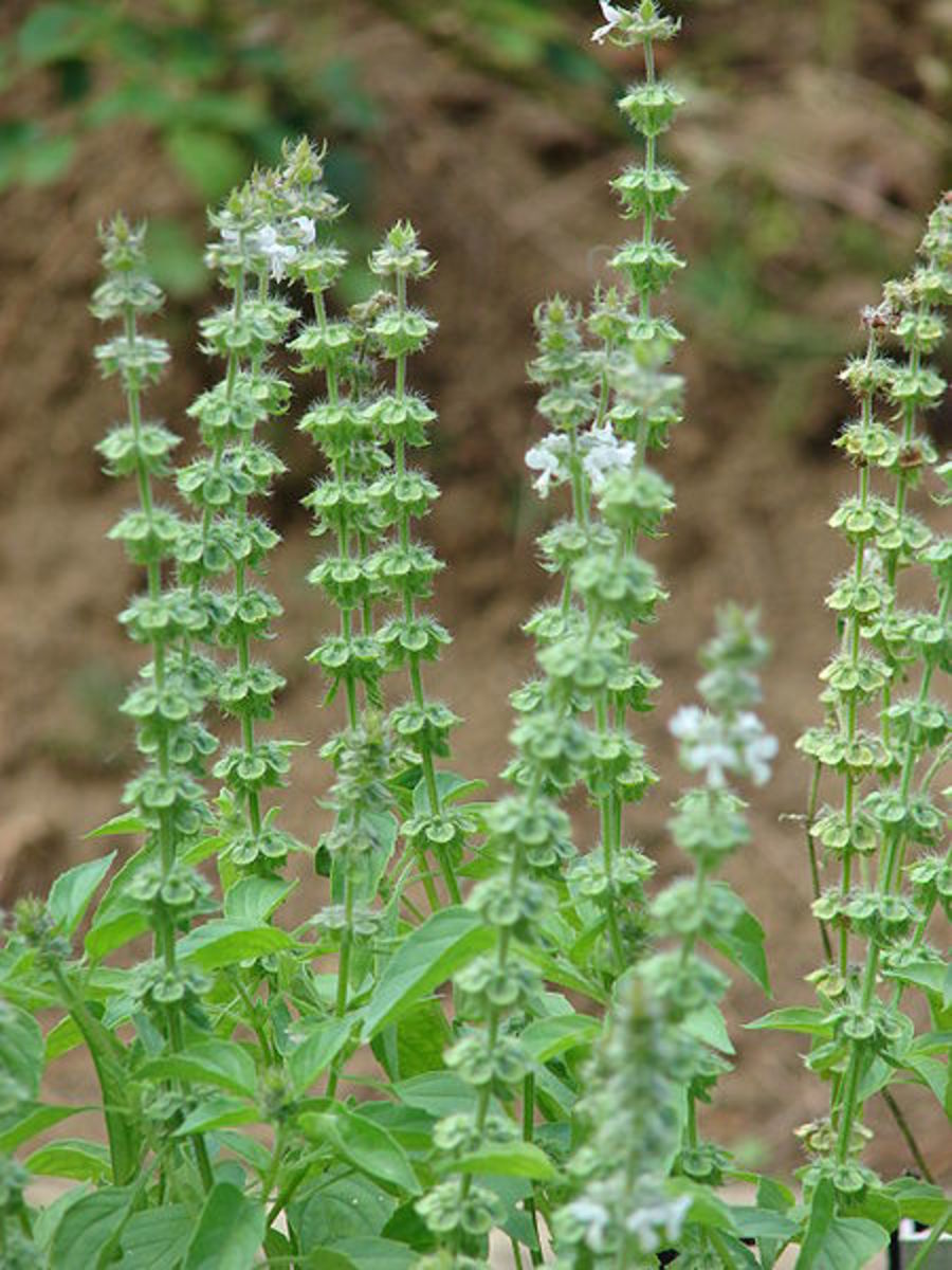 Ocimum flowers and seeds