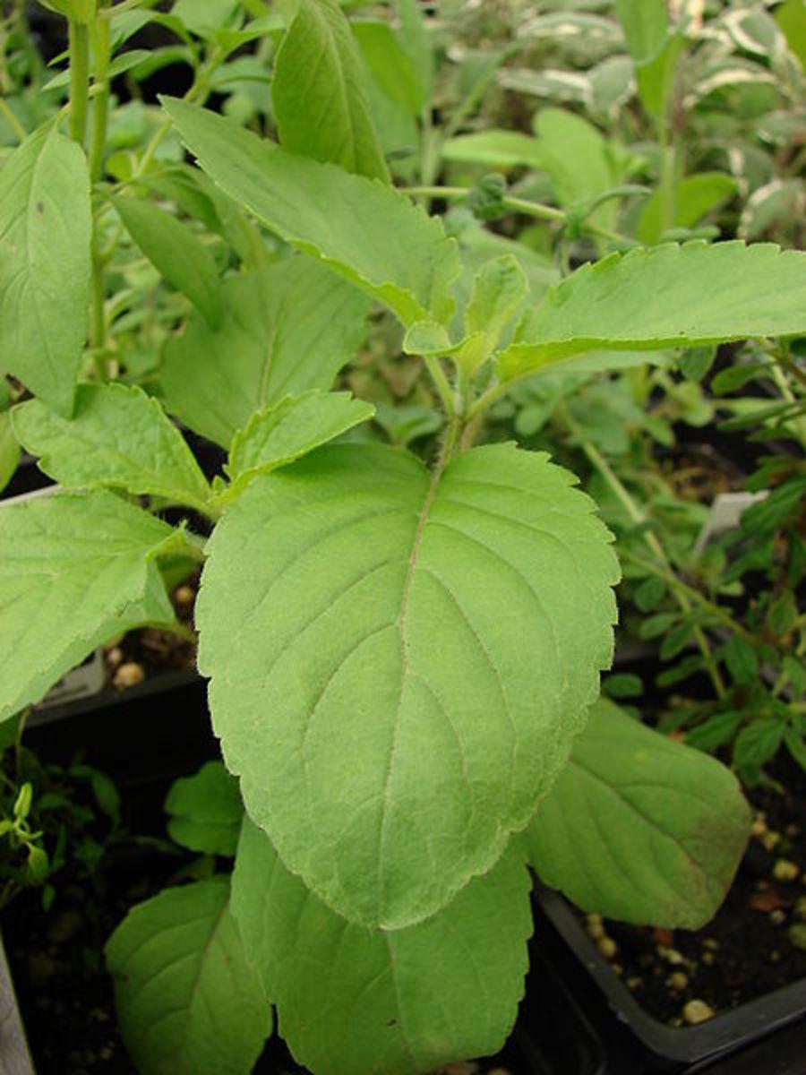 Ocimum leaves