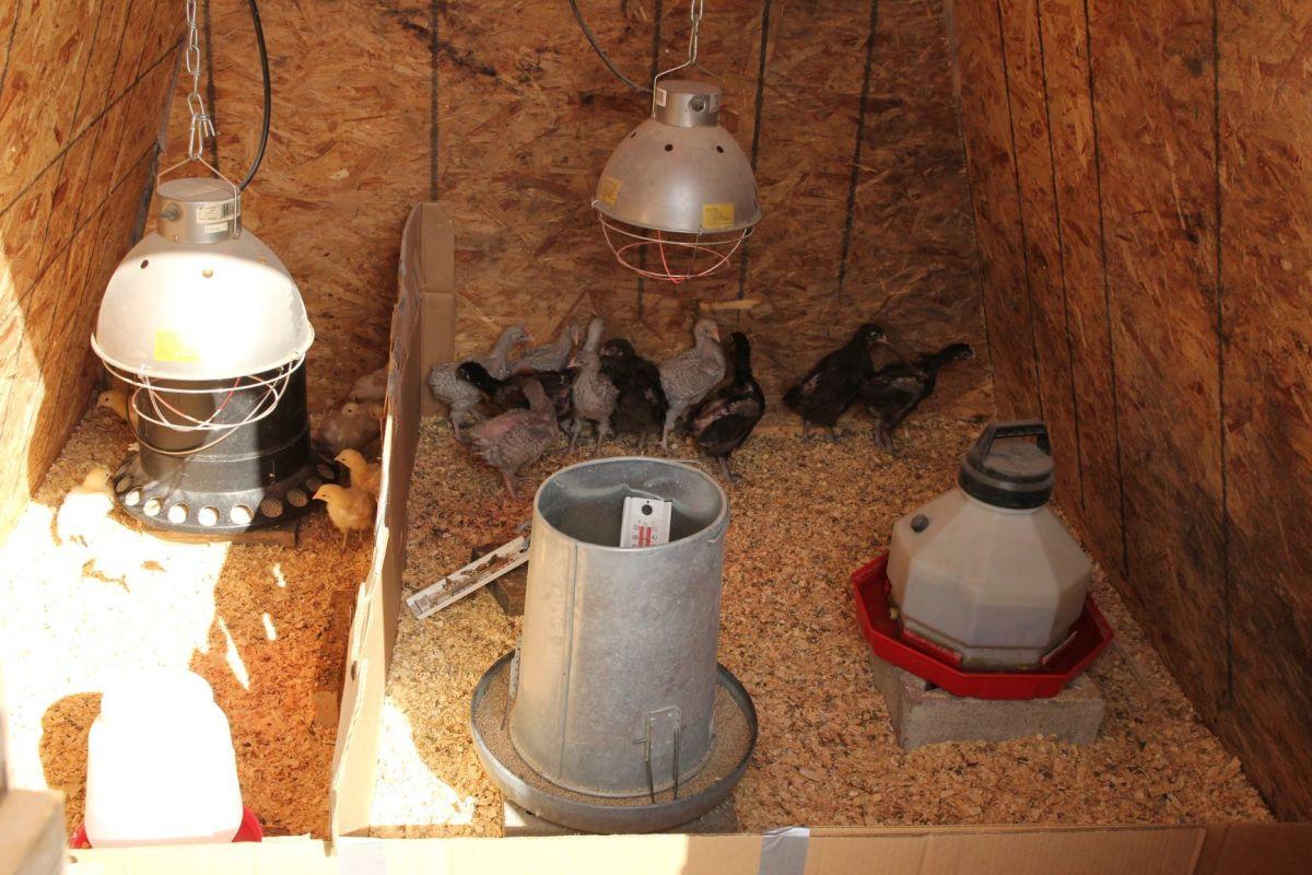brooding-chicks