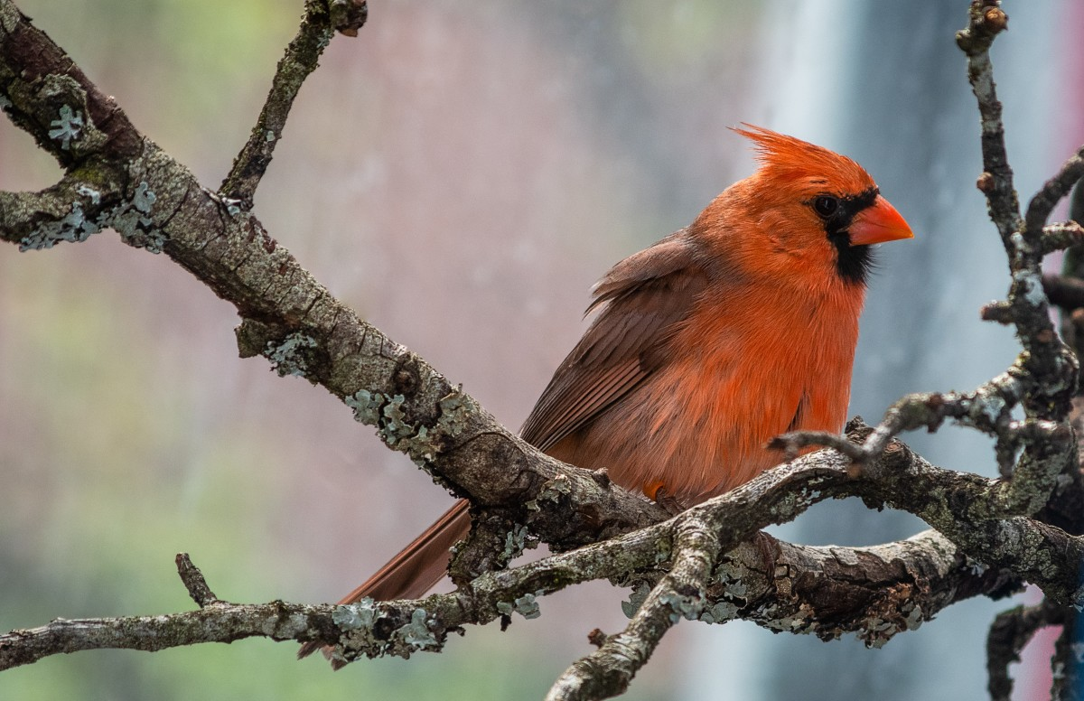 Cardinals are sources of beauty and lovely songs. Feed them and they will come.