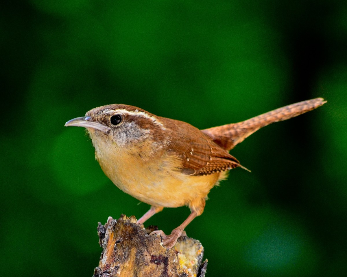 The glorious and complex songs of the Carolina wren can come to your yard. Put in plants that the wren's favorite bugs like to eat.