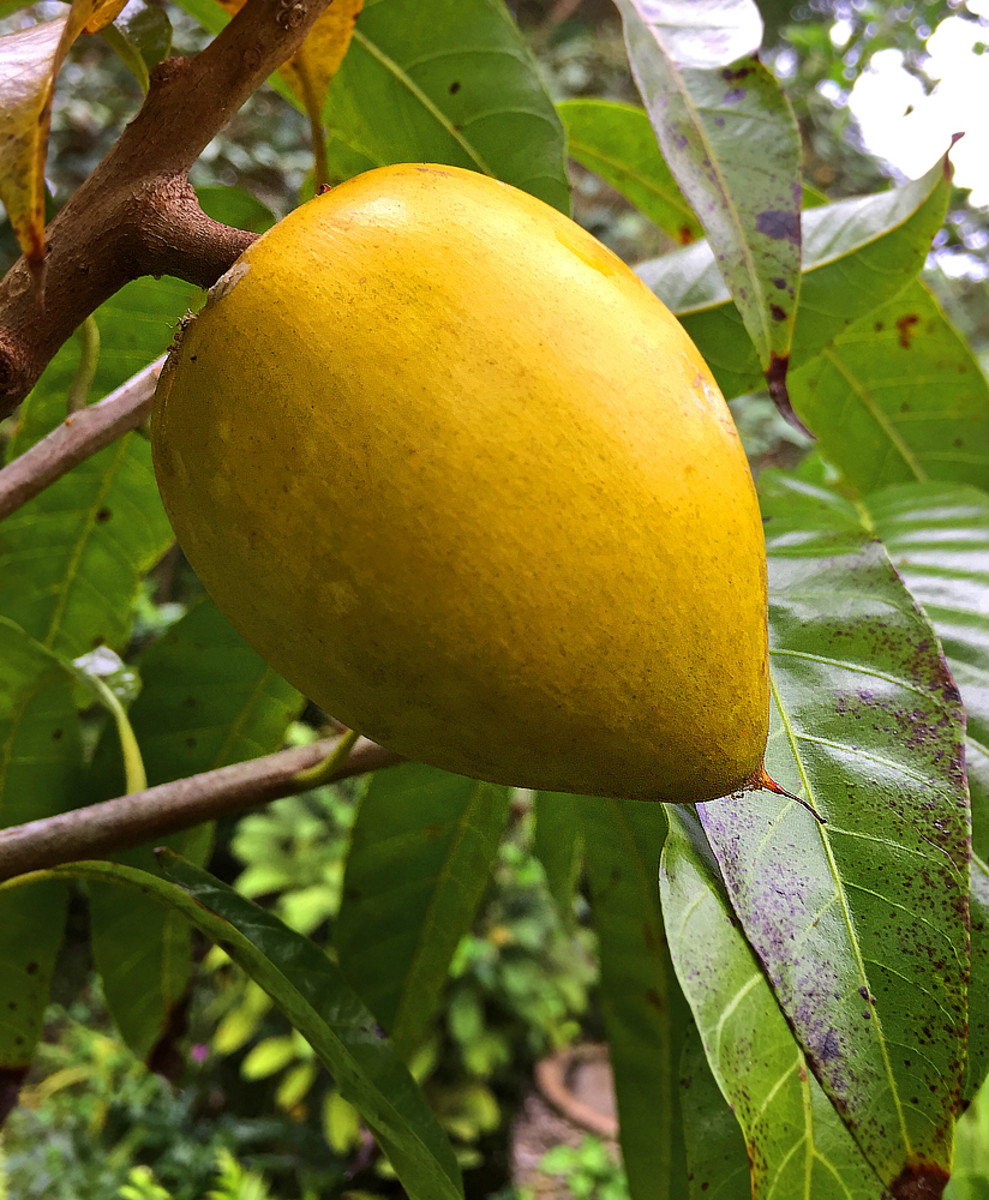 Another cultivar with different shape.  Generally, eggfruit starts producing fruits when the tree is about five or six years old.
