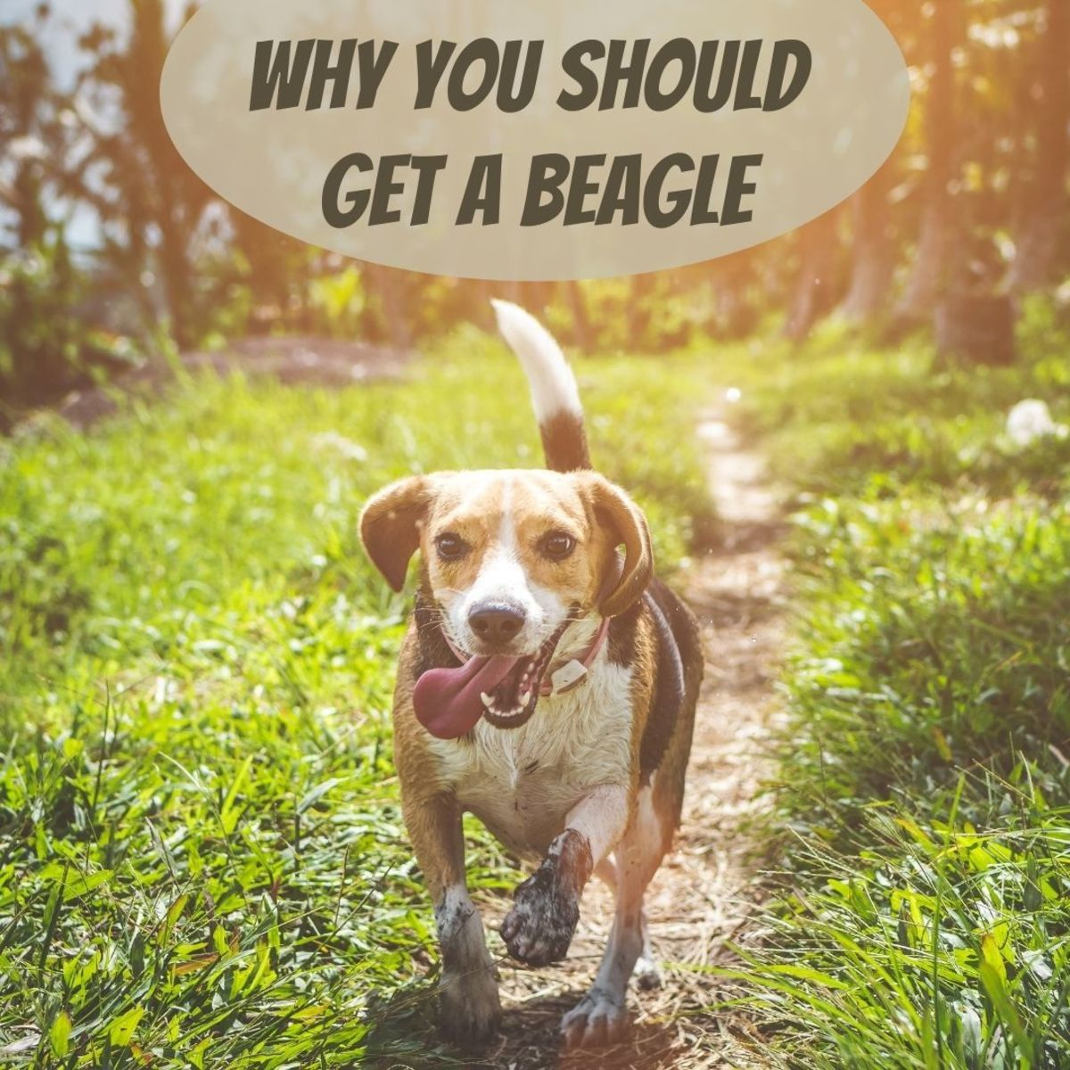 6 Reasons Why You Should Consider a Beagle
