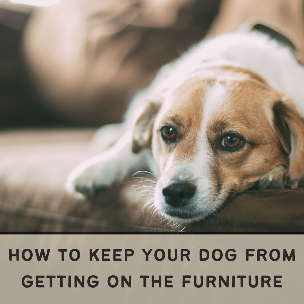 Is your dog getting on the couch or your bed, but you'd really rather he didn't? Read on to find out how you can train your dog to not get on the furniture.