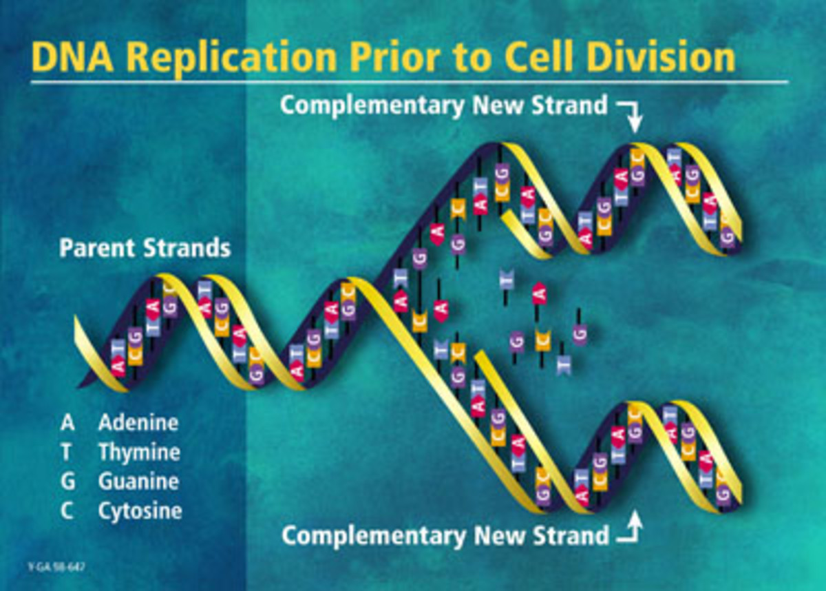 dna-what-is-it-the-replication-process-consequences-if-it-is-not-carried-out-correctly