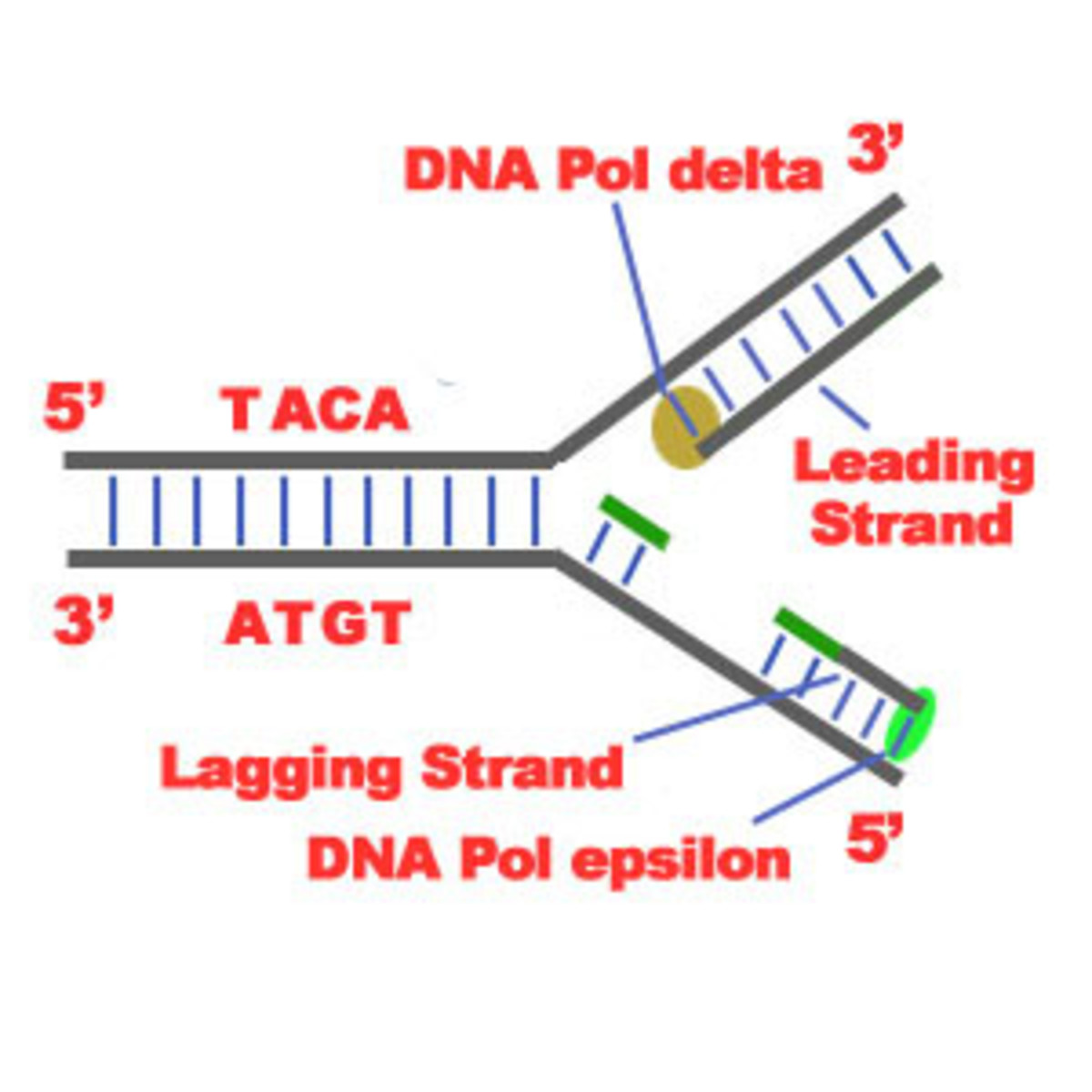 Leading and Lagging Strands and Okazaki Fragments