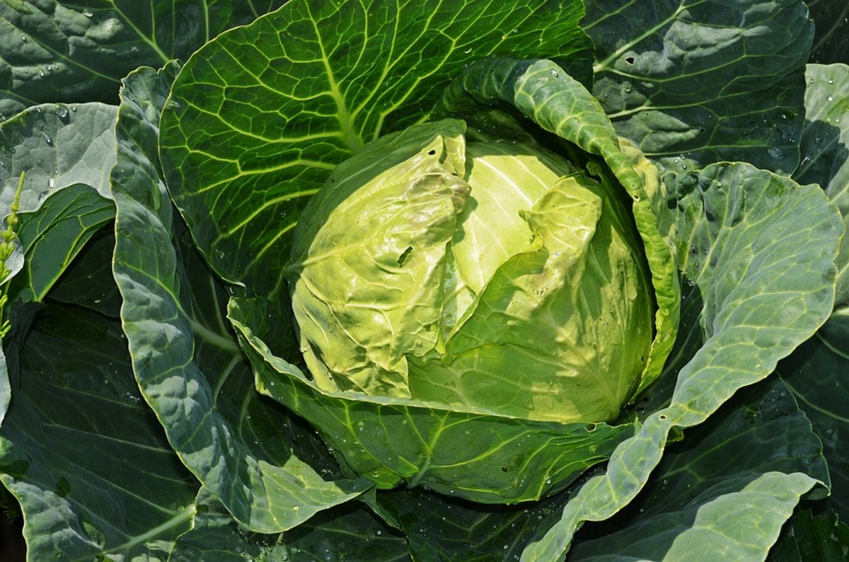What a beautiful head of cabbage!