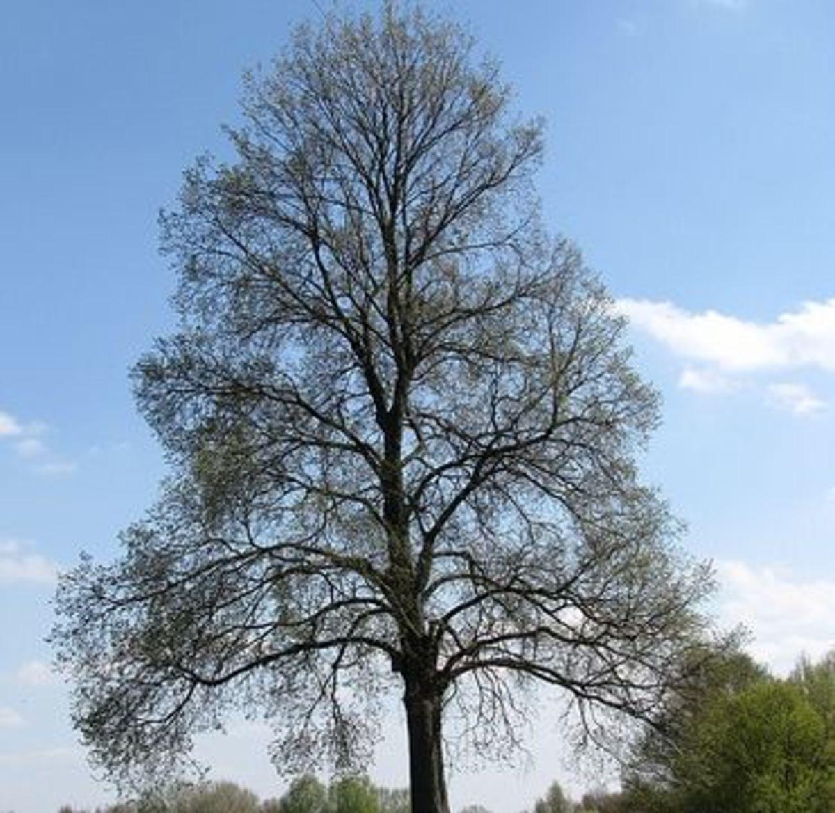 elm tree by liralina