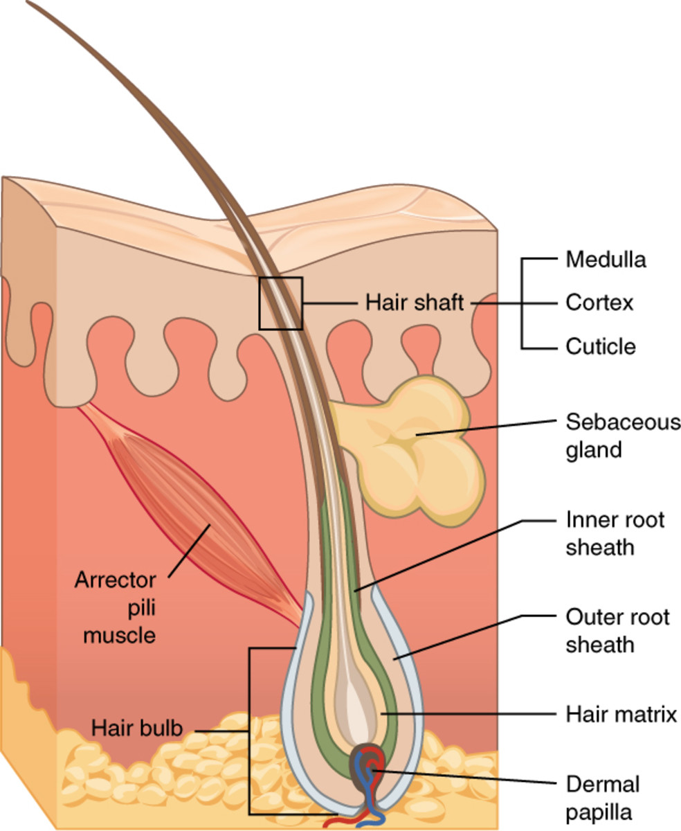 Diagram of hair follicle.