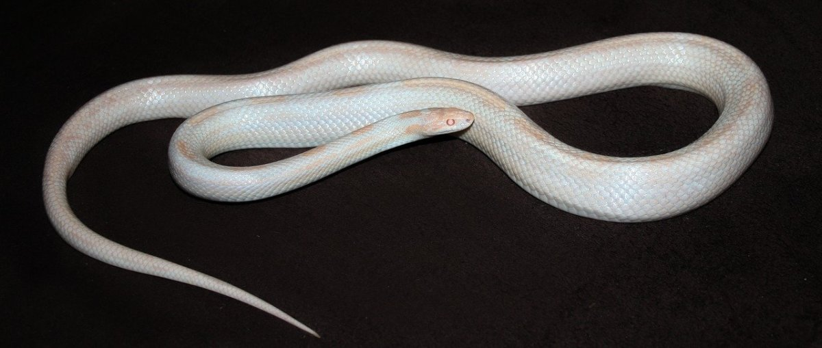 Albino Snake
