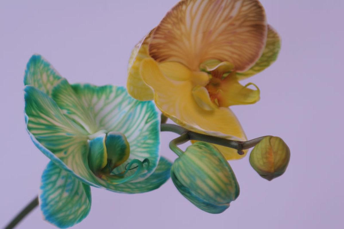 Phalaenopsis flower fro Anniversary Day