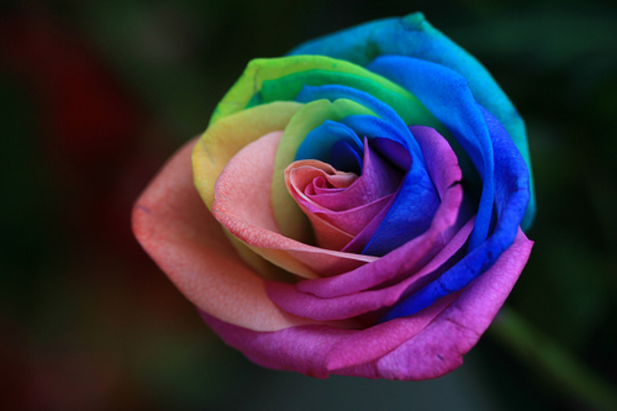 Beautiful Rainbow Roses