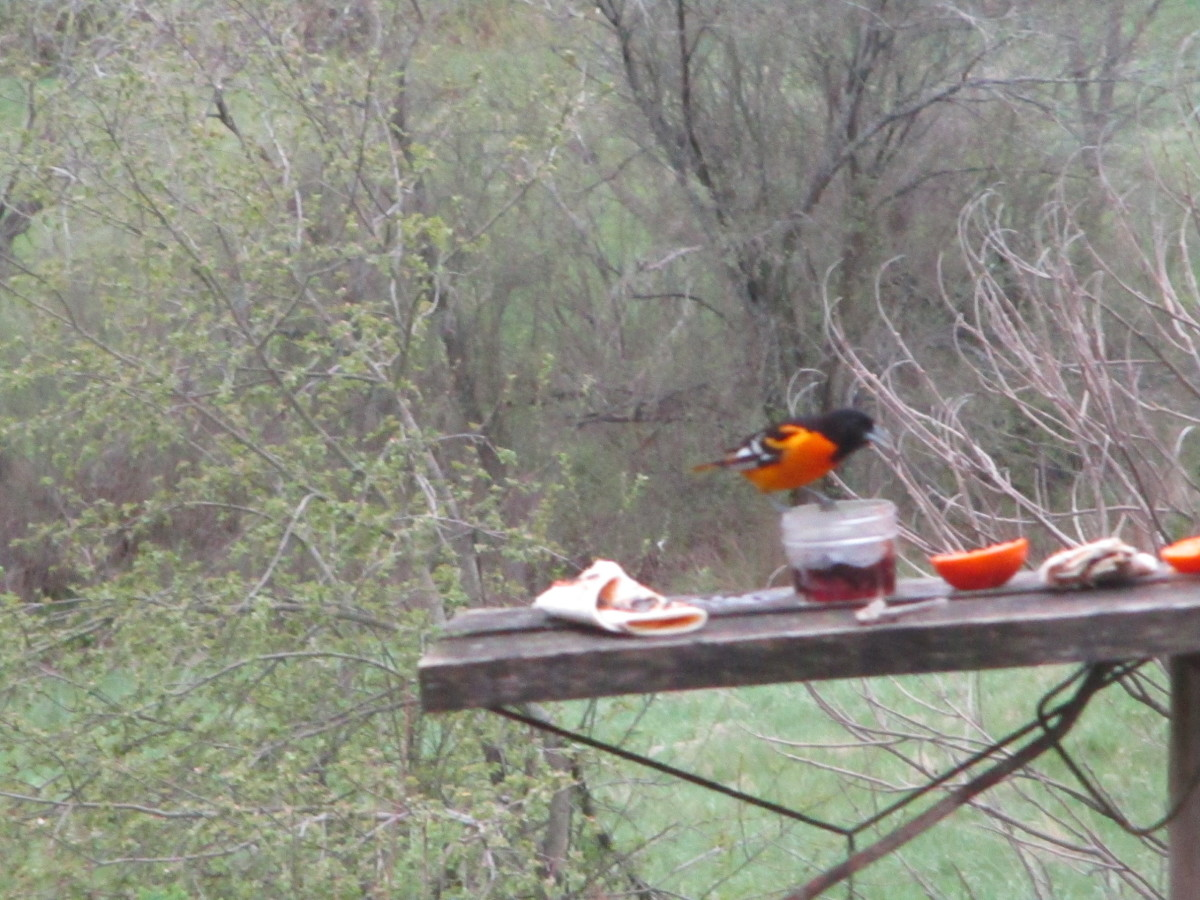 Oriole with his favorite treat of grape jelly served from a jelly jar.