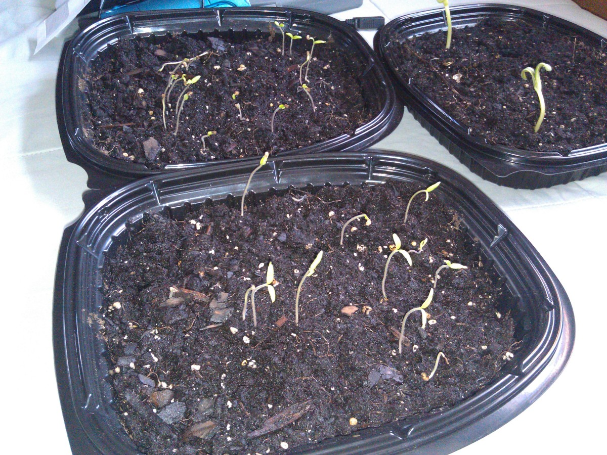Germinating Tomato Seeds Indoors