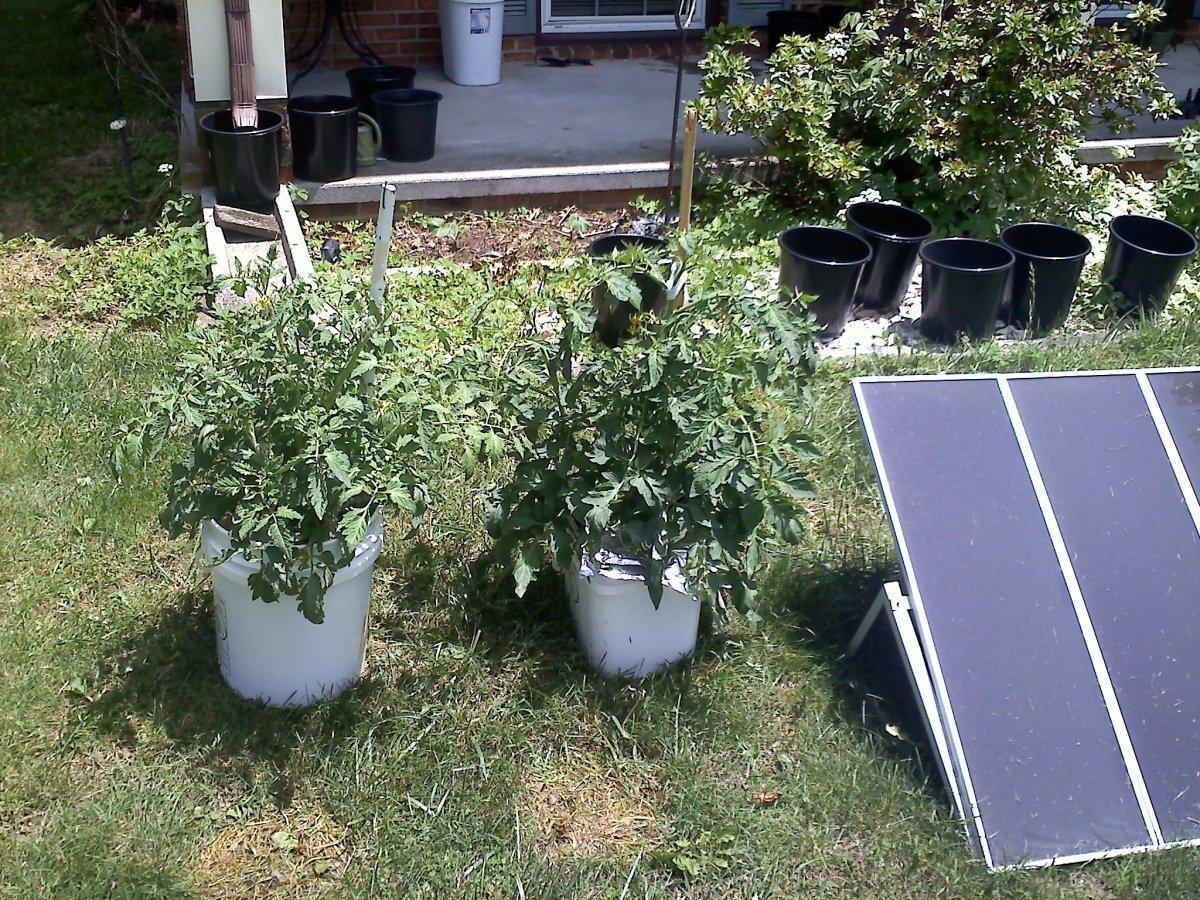Tomato plants growing in buckets after transplanting