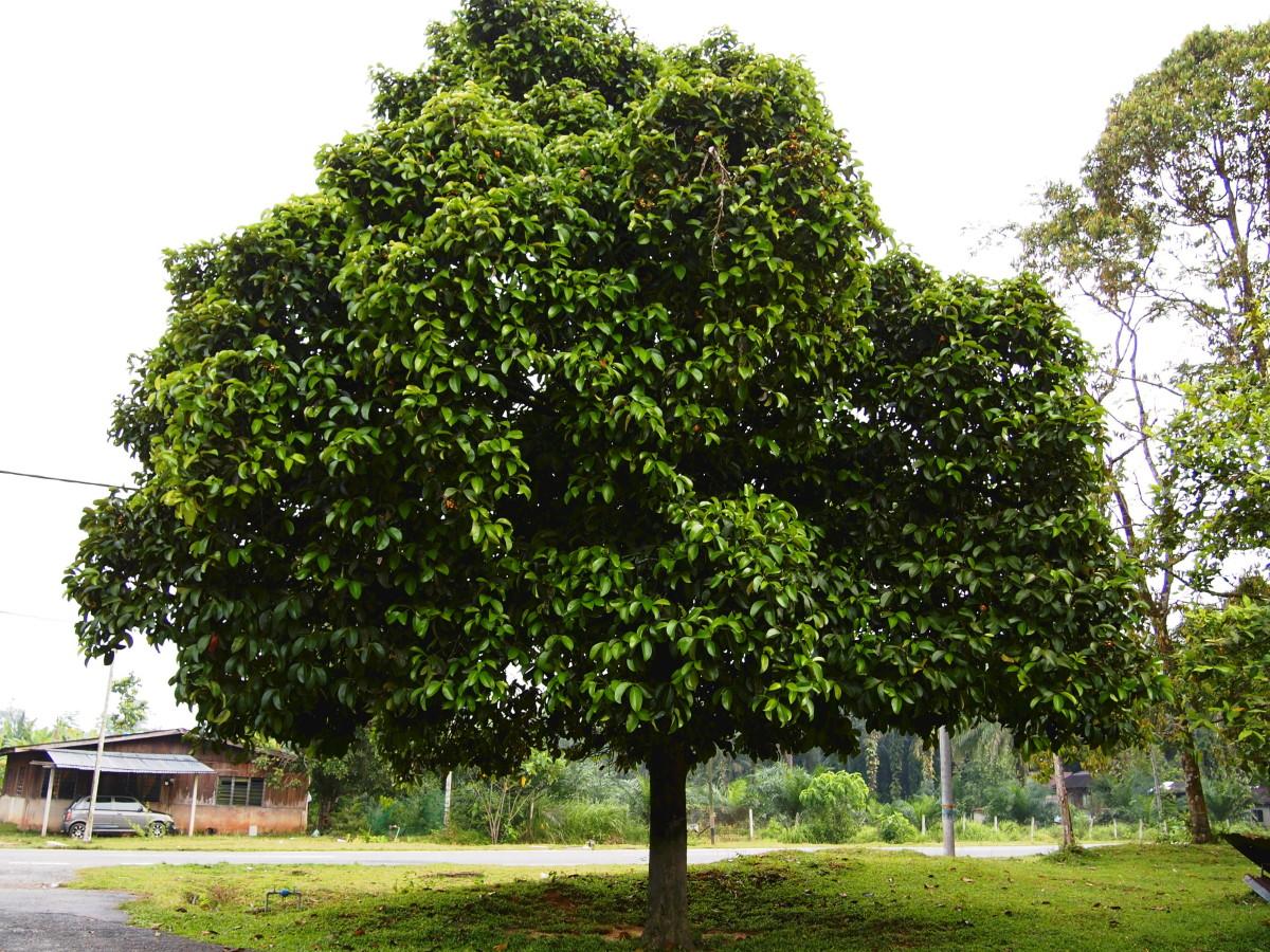 Garcinia mangostana or Mangosteen tree