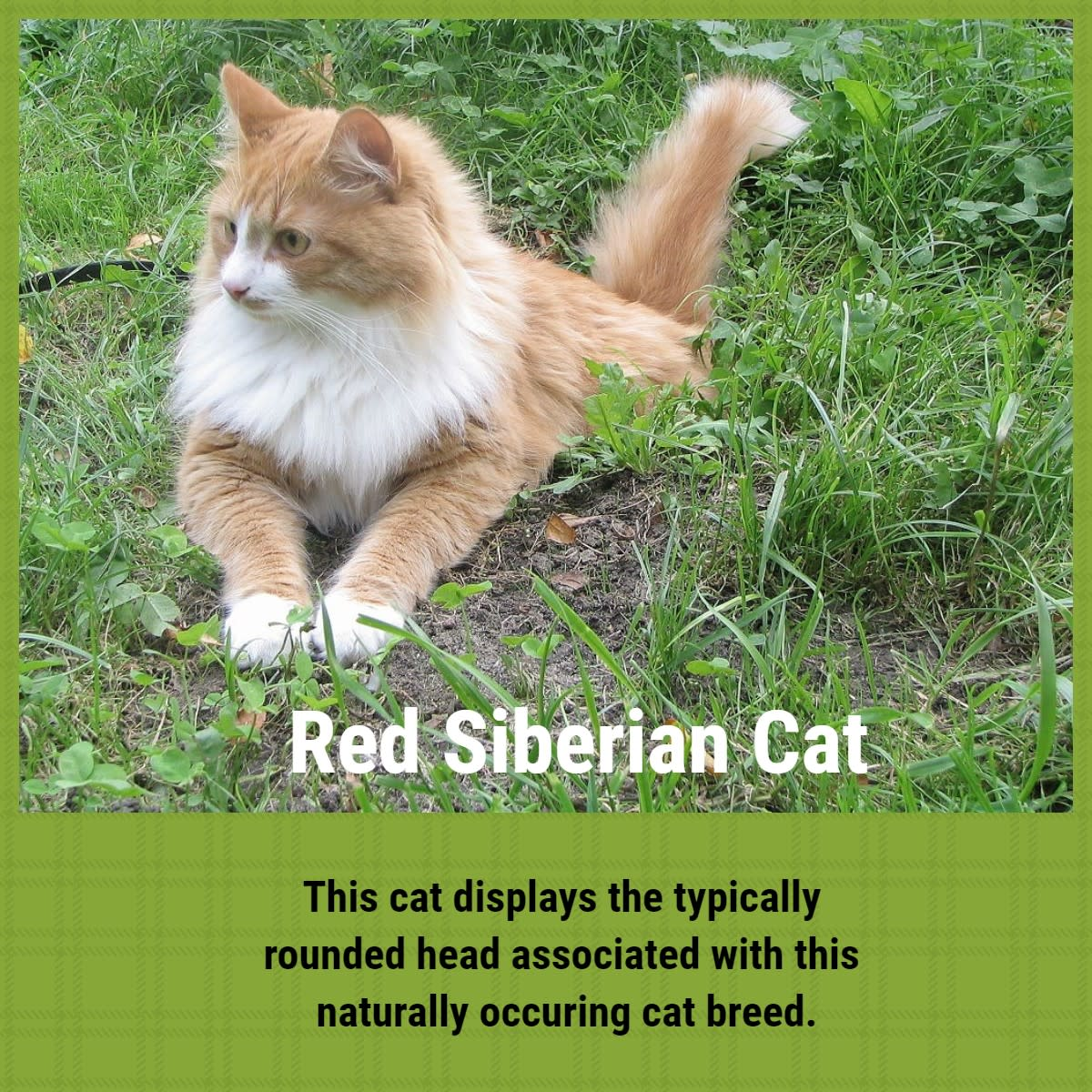 natural-breeds-of-cat-explored