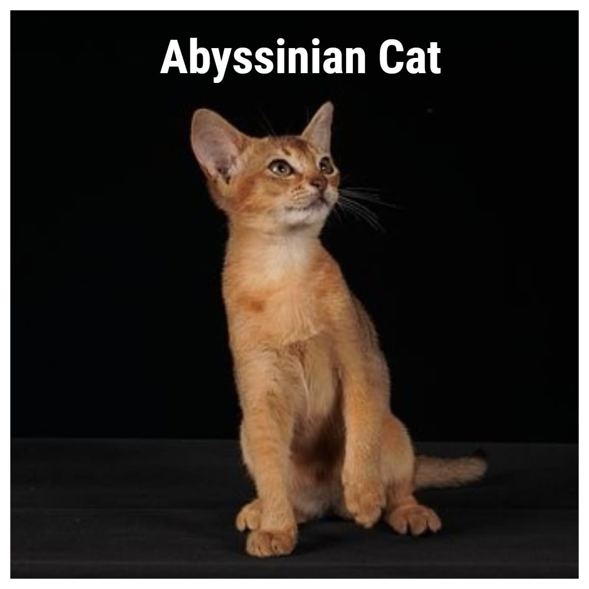 The Abyssinian cat is known for its big personality. Their ticked coat is spectacular.