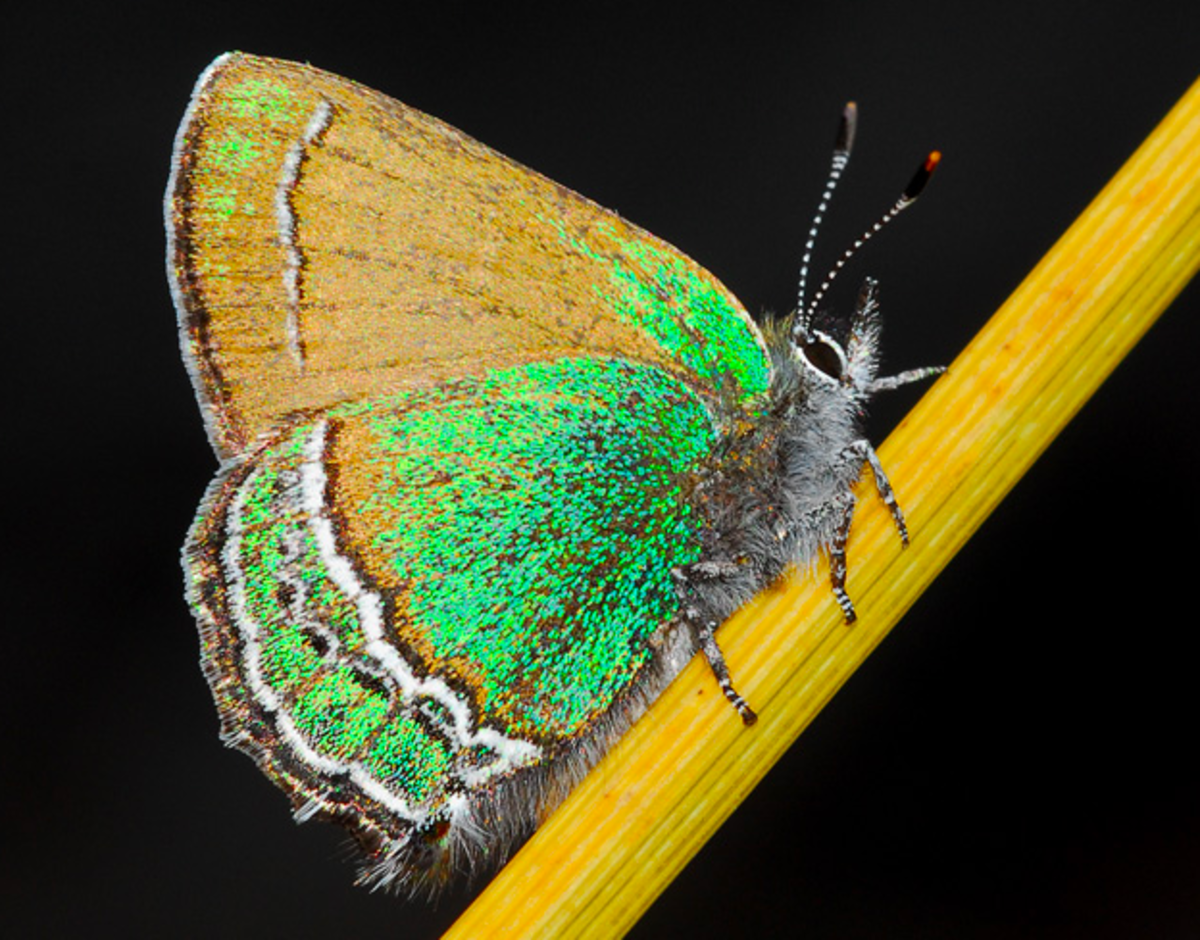 new-mexicos-state-butterfly-the-sandia-hairstreak