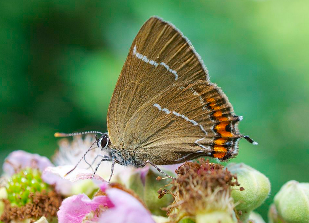 "A typical hairstreak butterfly showing its ""tails."""
