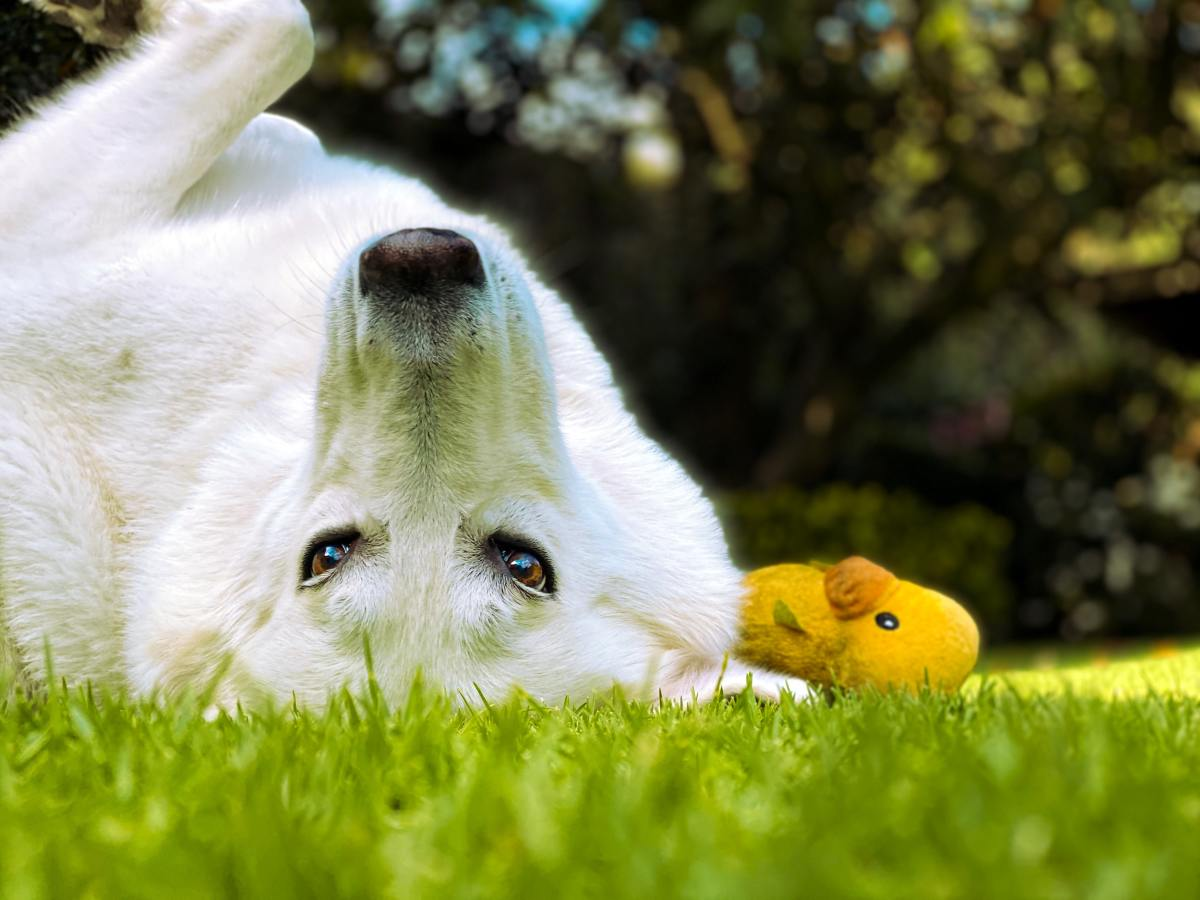 White dogs love to get dirty!
