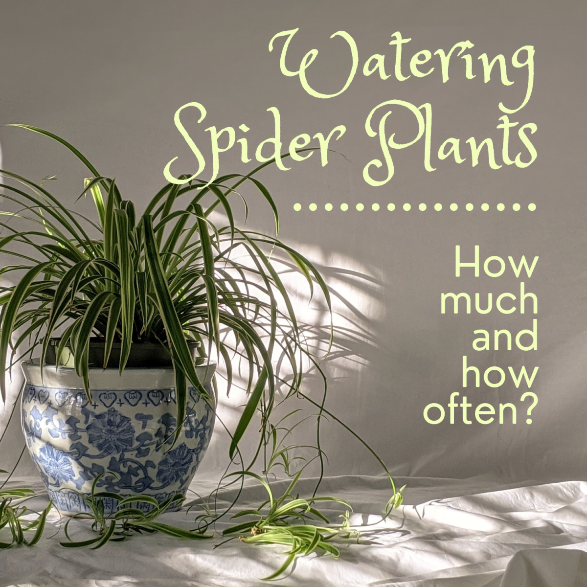 Learn how to water a spider plant and signs of over- and under-watering.