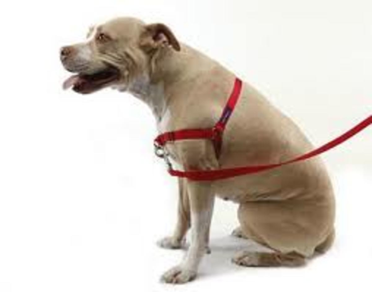 Easy Walk harness with the leash attachment in the center of the dog's chest.