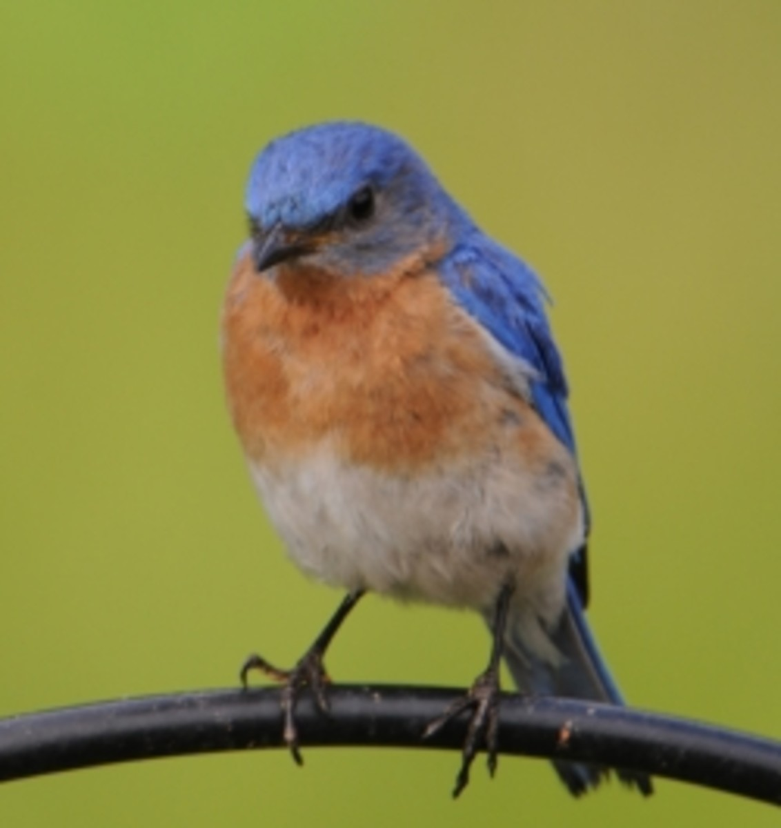 Attracting Eastern Bluebirds