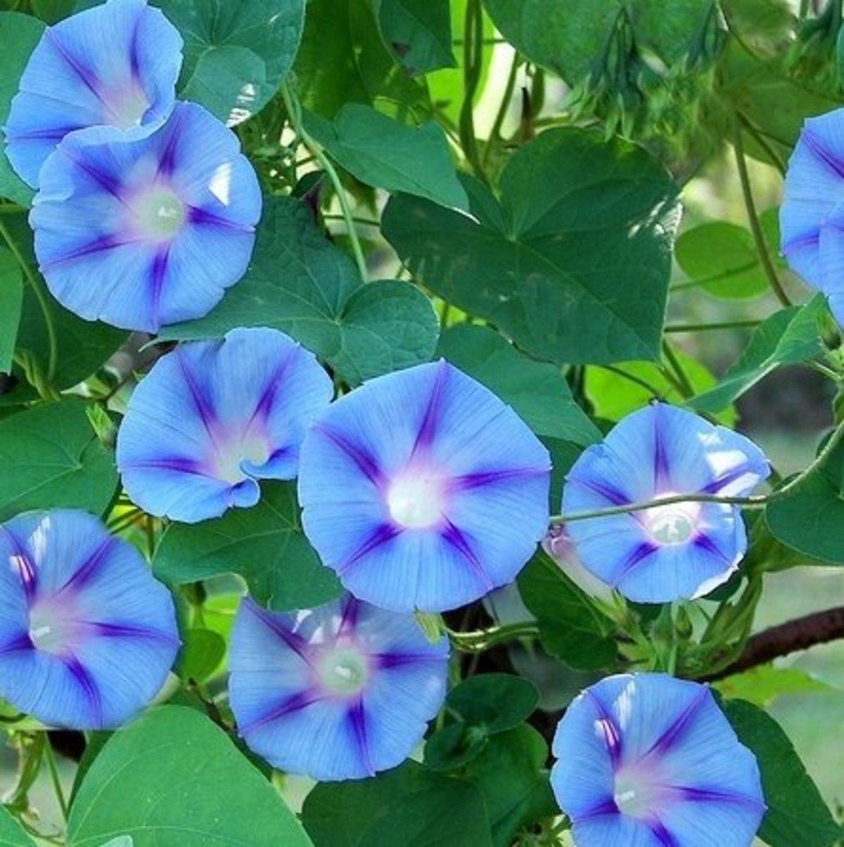 Ipomoea purpurea common morning glory tips and legends for Ipomea purpurea