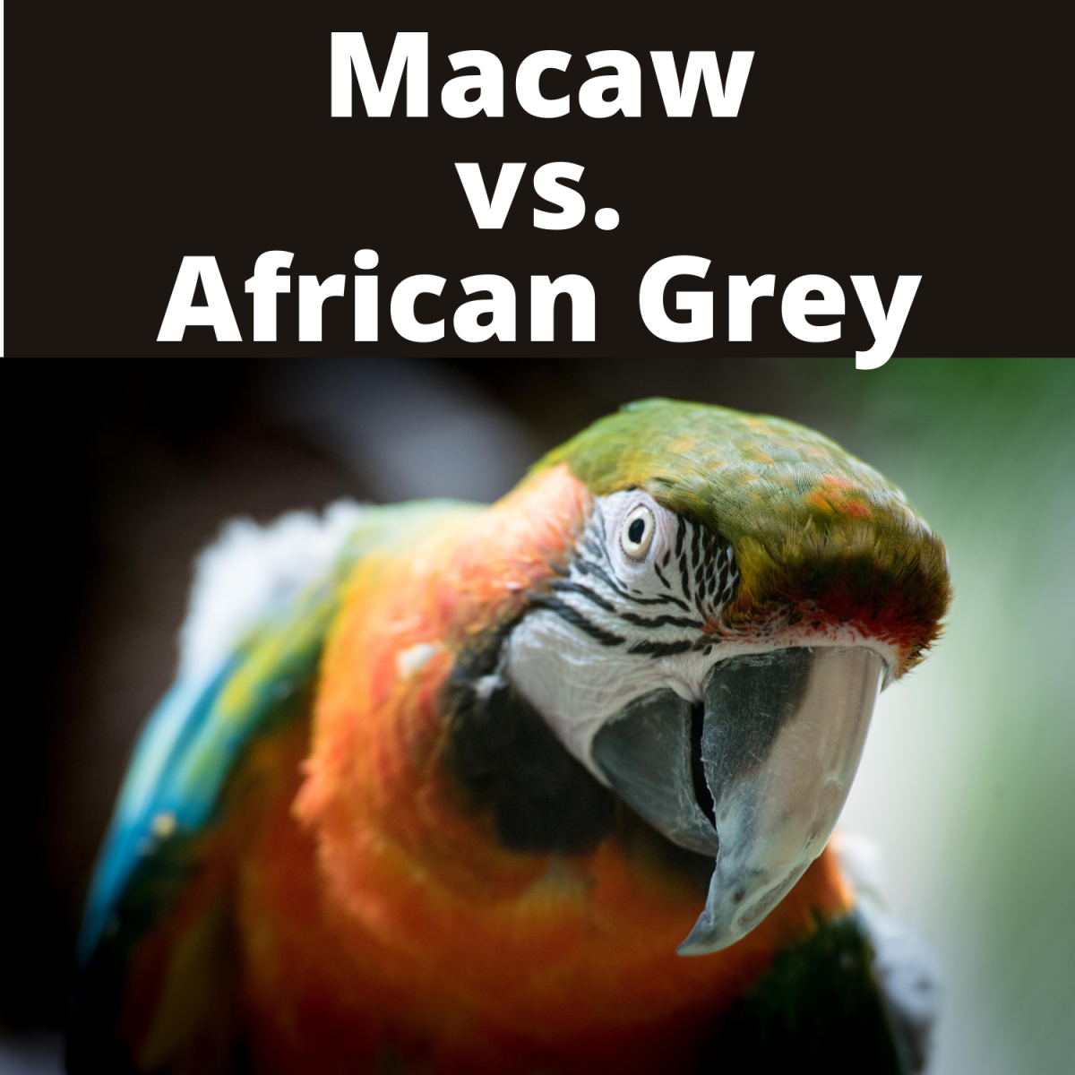 Macaw vs. African Grey: Which Parrot Should I Get?