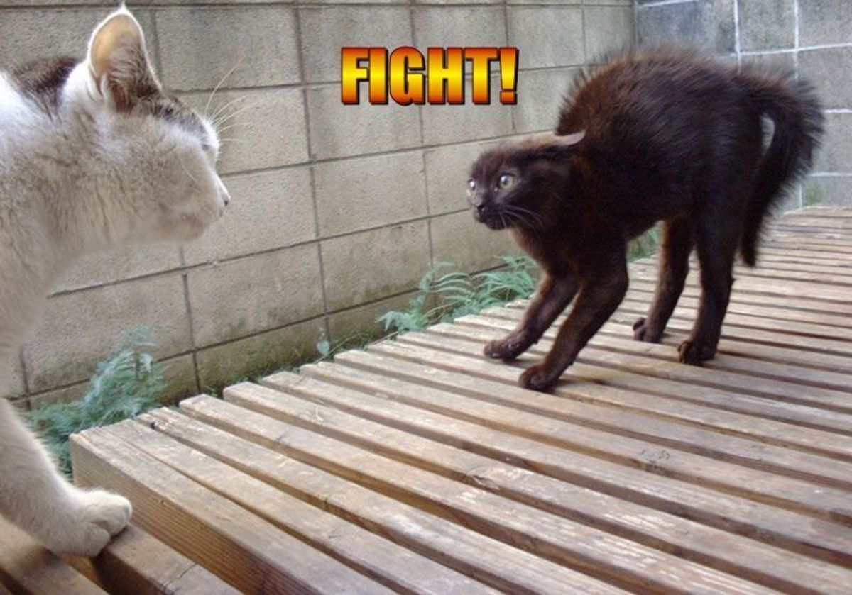 Guard hairs on this cat's entire body have reacted to adrenaline as this cat is faced with an aggressor.