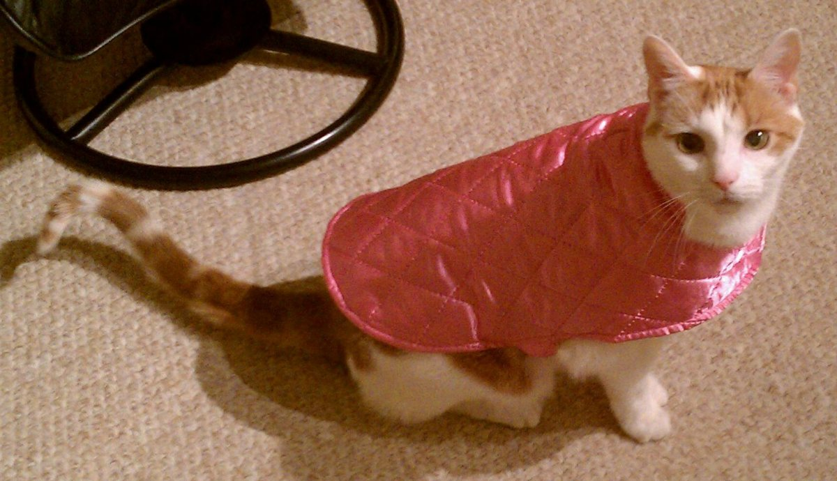 Classic defensive aggression posture in a cat: tail and hindquarters low, staring at the aggressor. I can only suppose he did not appreciate the pink cape.