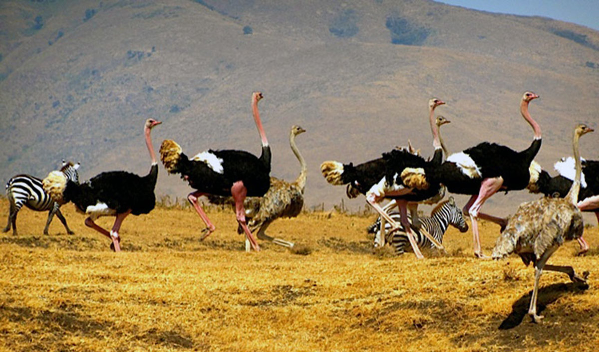 the-ostriches