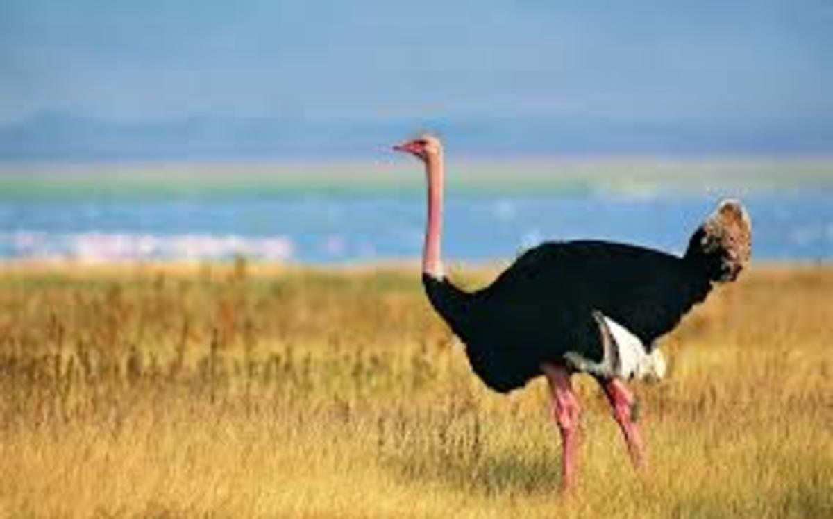 You can see where the Latin name comes from, the bird resembles a camel some, does it not?