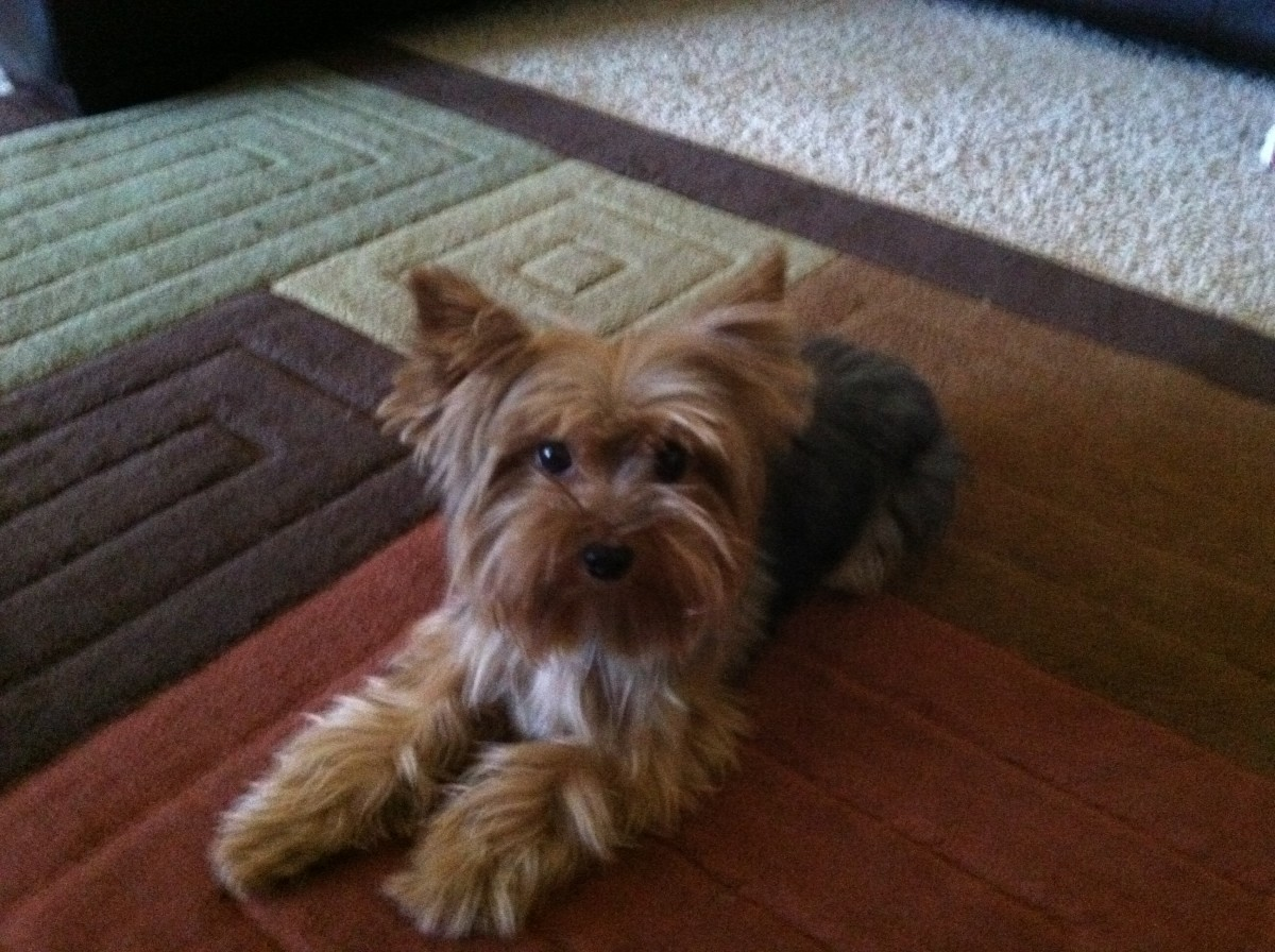"""At that moment Josh's cute little Yorkie, Chip, came around the corner and barked."""